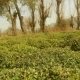 Tea Field and Tea Bushes and Trees - VideoHive Item for Sale