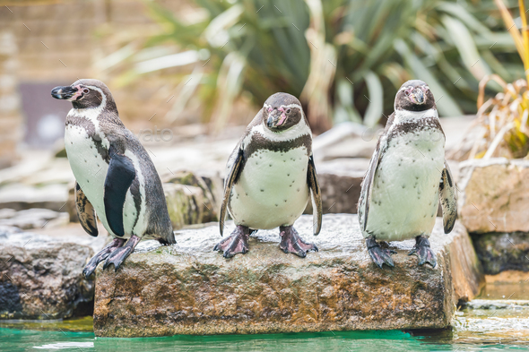 Humboldt Penguins - Stock Photo - Images