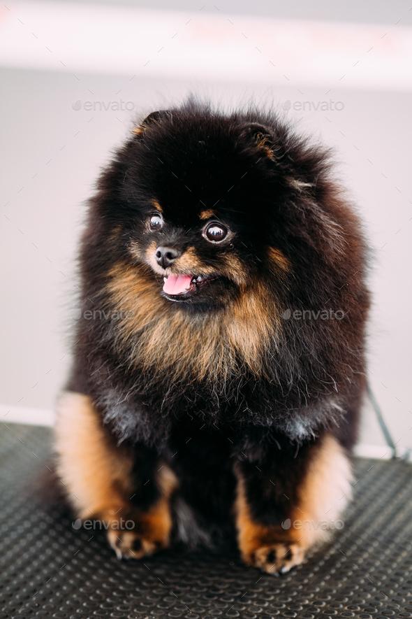 Black Smiling Pomeranian Spitz Small Dog - Stock Photo - Images