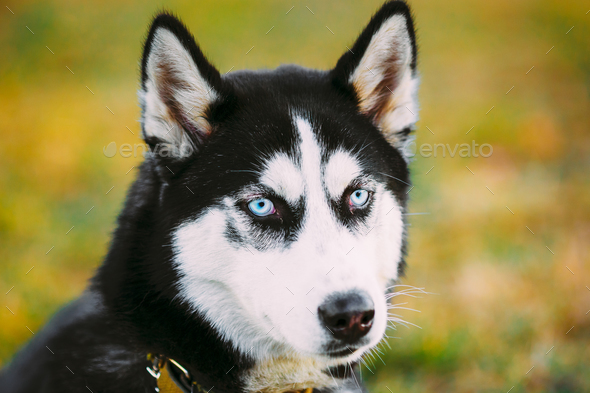 Young Happy Husky Puppy Eskimo Dog - Stock Photo - Images
