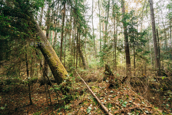 Fallen trees in coniferous forest reserve - Stock Photo - Images