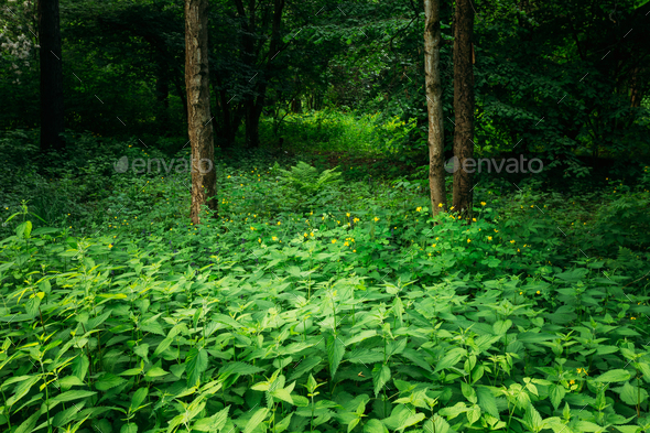 Summer Green Deciduous Forest Trees with Nettles - Stock Photo - Images