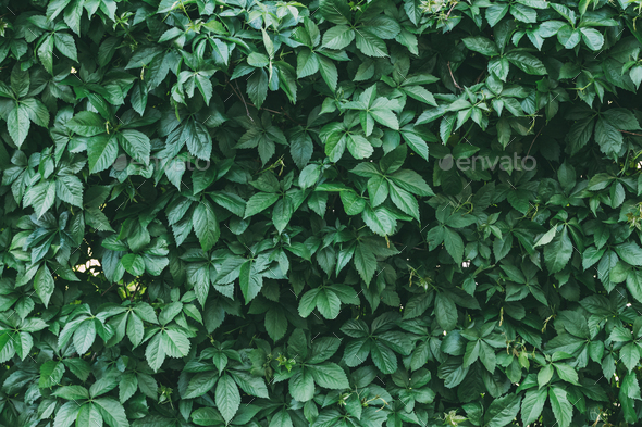 Green Ivy Leaves Natural Background - Stock Photo - Images