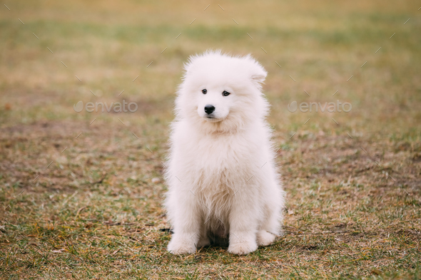 White Samoyed Puppy Dog Outdoor - Stock Photo - Images