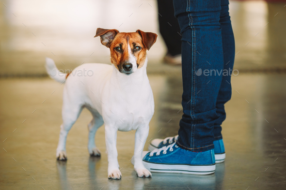 White Dog Jack Russell Terrier Is At The Feet Of Owner. The Jack - Stock Photo - Images
