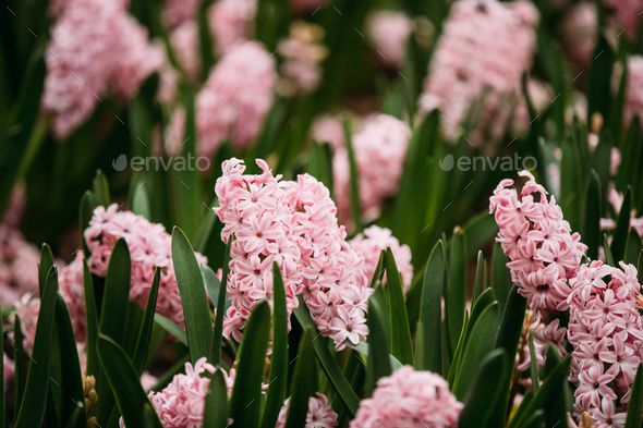 Blooming Pink Flowers Of Hyacinth In Spring Garden - Stock Photo - Images