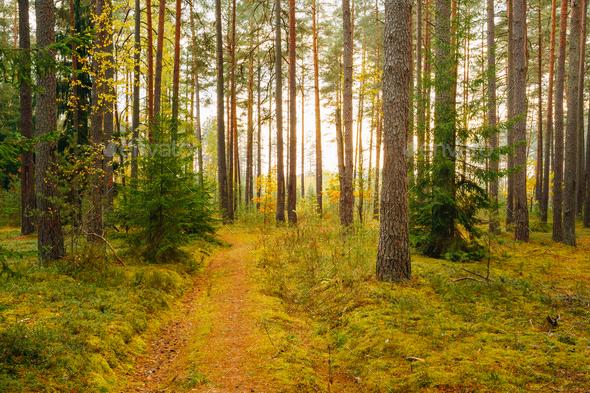 Winding Path Lane Walkway Way Through Beautiful Coniferous Autum - Stock Photo - Images