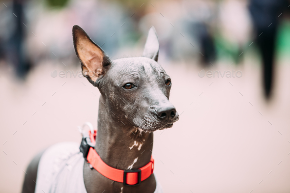 Mexican Hairless Dog In Outfit Playing In City Park. The Xoloitz - Stock Photo - Images