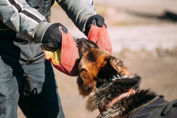 German Shepherd Dog Training. Biting Alsatian Wolf Dog - Stock Photo - Images