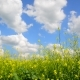 Flowering Yellow Barbarea Vulgaris in Wind Against Beautiful Sky - VideoHive Item for Sale
