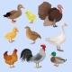 Poultry Birds Set