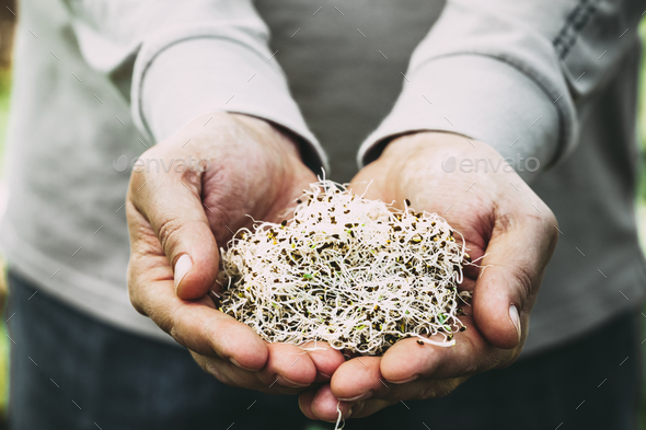 Alfa sprouts - Stock Photo - Images