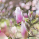 Pink magnolia - PhotoDune Item for Sale