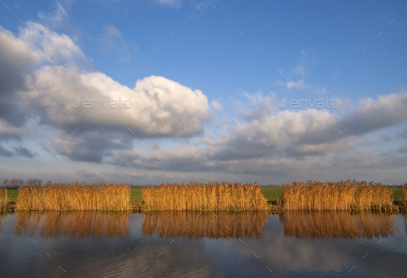 Reed lights up in the evening light - Stock Photo - Images
