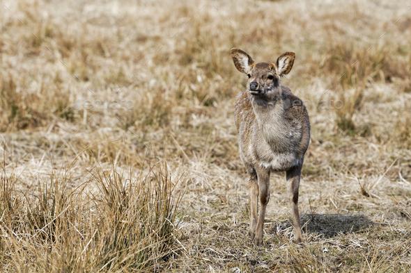 Red deer, Altai maral (Cervus elaphus sibiricus) - Stock Photo - Images