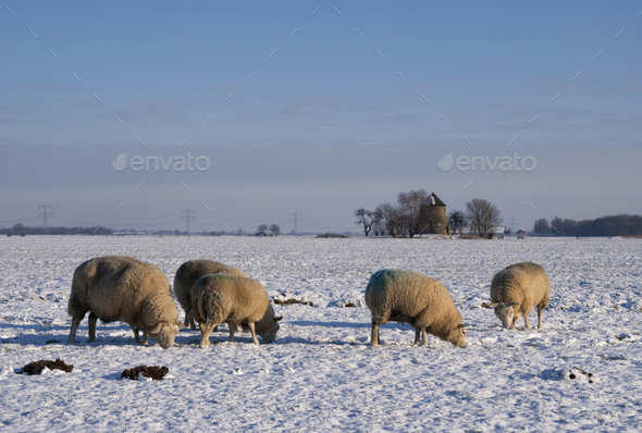 Sheep in a snow covered landscape - Stock Photo - Images