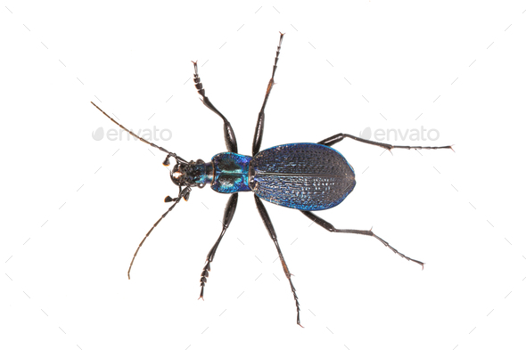 Ground beetle (Carabus intricatus) on a white background - Stock Photo - Images
