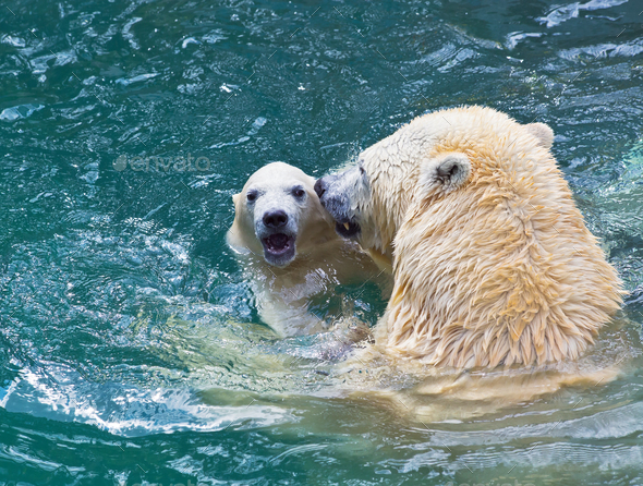 Bathing polar bears - Stock Photo - Images