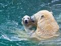 Bathing polar bears - PhotoDune Item for Sale
