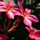 Branch of Red Frangipani Plumeria Flowers on Sunny Day Slightly Wiggle By the Air Breeze - VideoHive Item for Sale