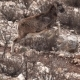 Super  of Mouflon Running - VideoHive Item for Sale