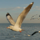 Seagull Flying On Blue Ocean - VideoHive Item for Sale