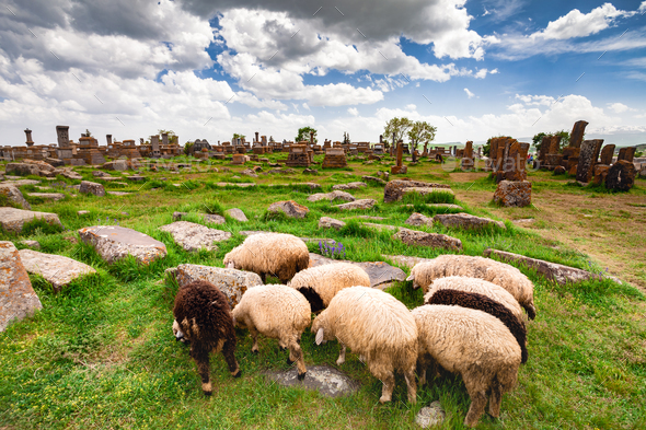 Sheep graze in Noratus - Stock Photo - Images