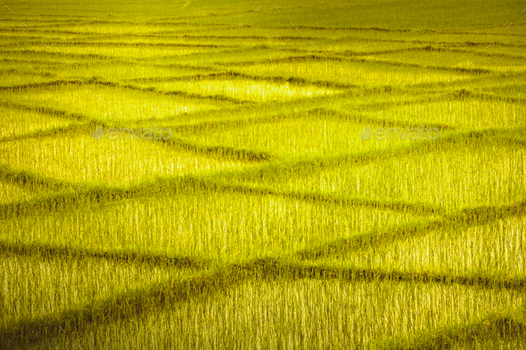 Wheat field with crossing rows. Background. - Stock Photo - Images