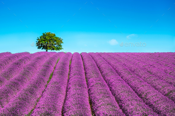 Lavender and lonely tree uphill. Provence, France - Stock Photo - Images