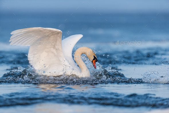 Mute swan flapping wings - Stock Photo - Images