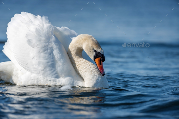 Swan on blue lake water in sunny day - Stock Photo - Images