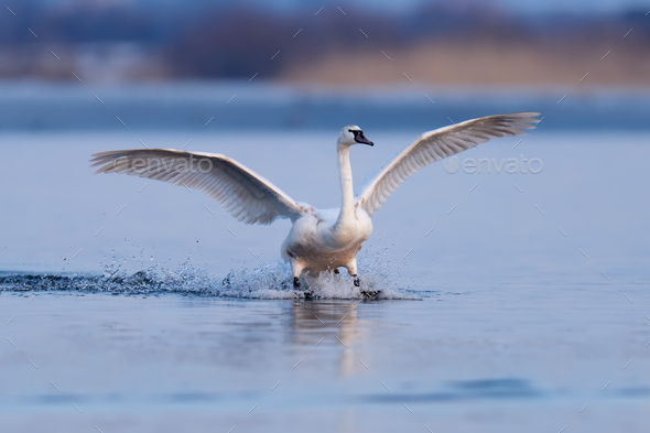 Mute swan, Cygnus olor, single bird in flight - Stock Photo - Images