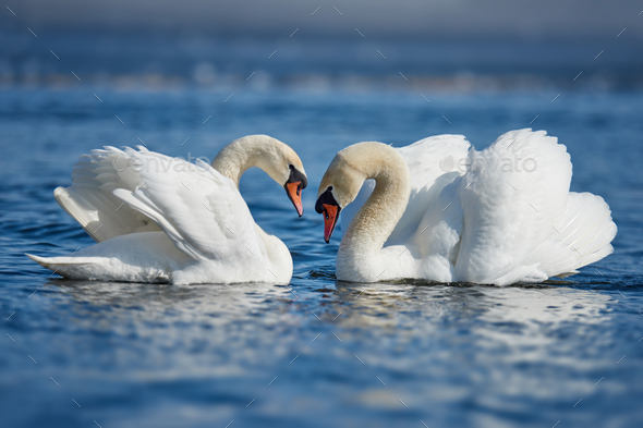 Romantic two swans, symbol of love - Stock Photo - Images