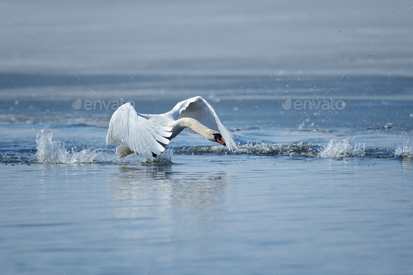 Swans taking flight on lake - Stock Photo - Images