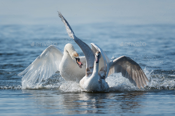 Swans taking flight on lake - Stock Photo - Images