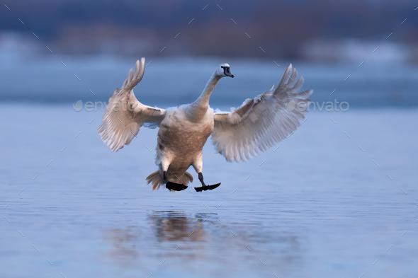 Mute swan, Cygnus olor, single bird in flight - Stock Photo - Images