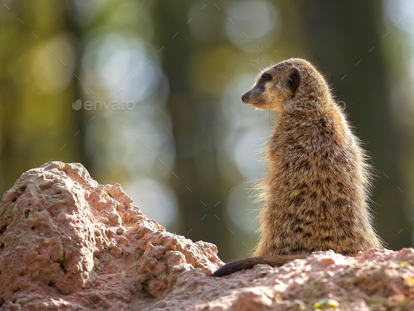 Meerkat in the wild  - Stock Photo - Images