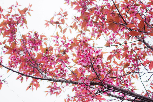 cherry blossoms at sky - Stock Photo - Images