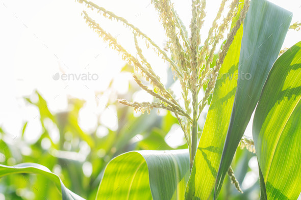 Corn tree with sunlight - Stock Photo - Images