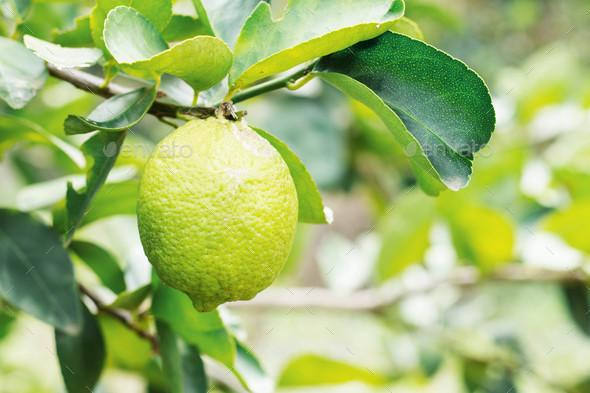 lemons in farm - Stock Photo - Images