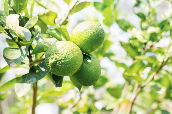 lemons on tree - Stock Photo - Images