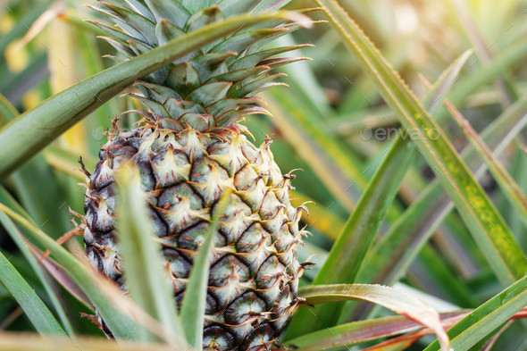 pineapple at farm - Stock Photo - Images