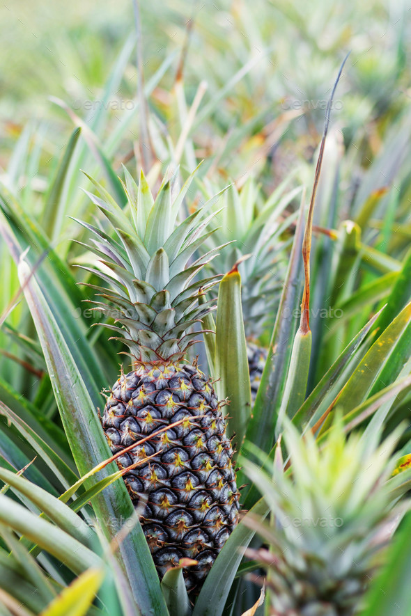 Pineapple growing on trees - Stock Photo - Images