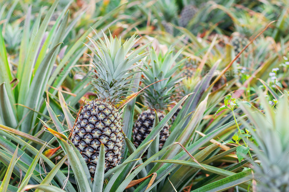Pineapple in farm - Stock Photo - Images