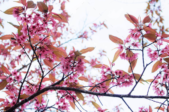 Pink cherry blossoms with sky - Stock Photo - Images