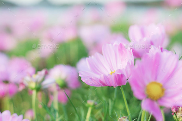 pink cosmos with beauty - Stock Photo - Images