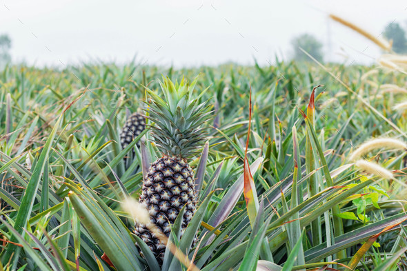 Planting pineapple with sky - Stock Photo - Images