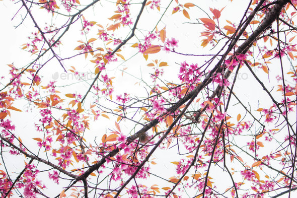 Sakura of dries with sky - Stock Photo - Images