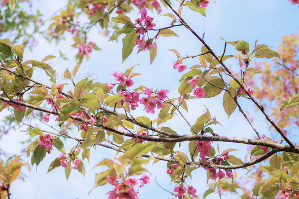 Sakura with blue sky - Stock Photo - Images