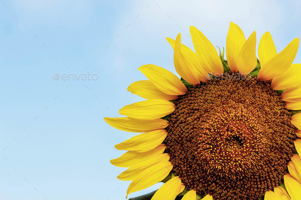 Sunflower with the sky - Stock Photo - Images